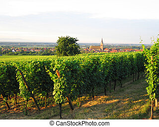 french wineyard in alsace