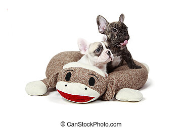 frenchie, hundebabys, in, a, hund, bett