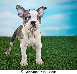 frenchton, junger hund