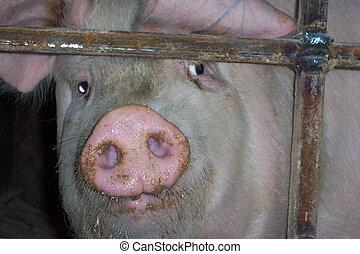frente, #2, cerdo, vista