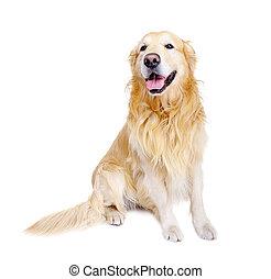 frente, dorado, sentado, vista, perro cobrador