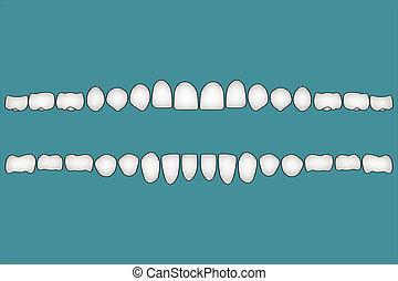 frente, lado, dientes humanos