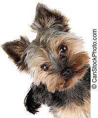 frente, retrato, terrier, yorkshire