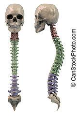 frente, secciones, espina dorsal, lado