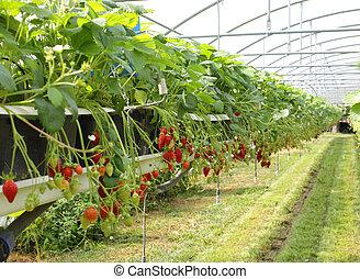 fresa, fresas, invernadero, cultura