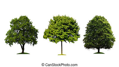 fresco, árboles verdes, aislado, blanco, plano de fondo