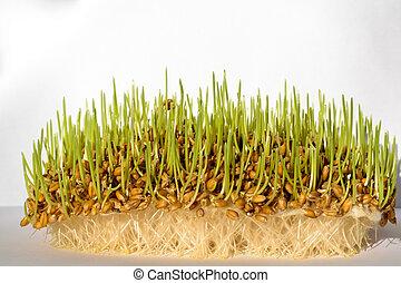 fresco, broto, trigo, sementes, com, raizes