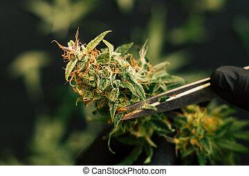 fresco, cannabis, aparando, colheita, grower, buds., homem, marijuana