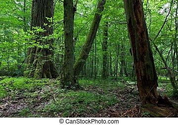 fresco, decíduo, levantar, de, bialowieza, floresta, com,...