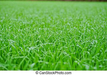 fresco, erba, gocce, rugiada