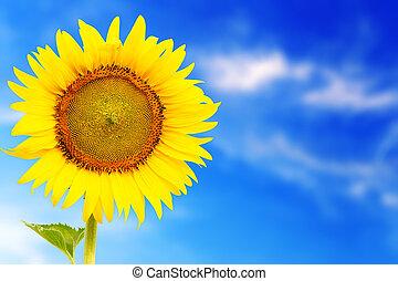 fresco, flor, girasol, sobresaliente, en, sunnyday
