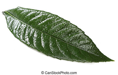 fresco, folha verde, isolado, branco