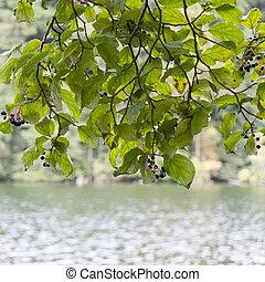 fresco, folhas, ligado, ramo