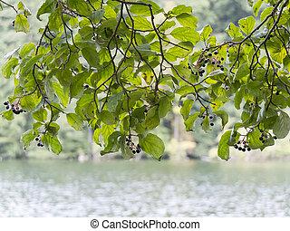 fresco, folhas, ramo