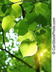 fresco, follaje, primavera
