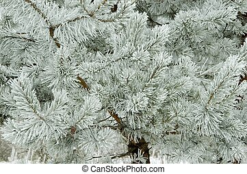 fresco, geada, ramos, pinho, coberto