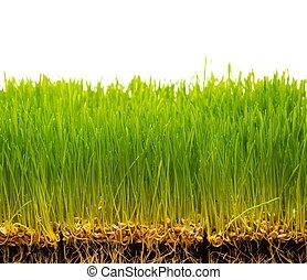 fresco, grama verde, e, solo, com, sementes
