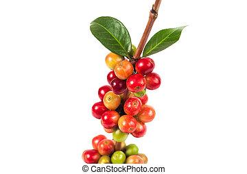 fresco, granos de café, blanco, plano de fondo, alimento, y,...