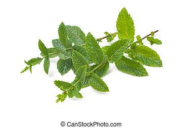 fresco, hojas, menta