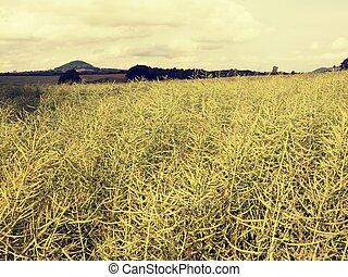 fresco, maduro, verde, oilseed estupram, field., rapeseed, ...