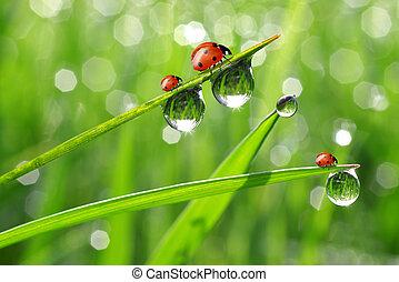 fresco, manhã, ladybird, orvalho