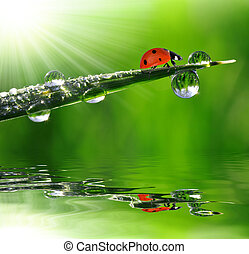 fresco, manhã, orvalho, e, ladybug