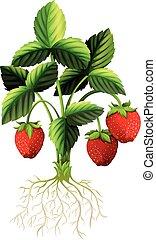 fresco, pianta, fragole
