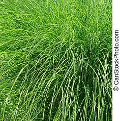 fresco, primavera, erba verde