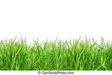 fresco, primavera, grama verde, isolado, branco, fundo