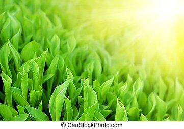 fresco, primavera, hierba verde, en, brillo, luz del sol