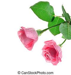fresco, rosas rosa, blanco, plano de fondo