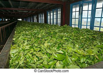 fresco, tè, raccolto, essiccamento, su, tè, fabbrica