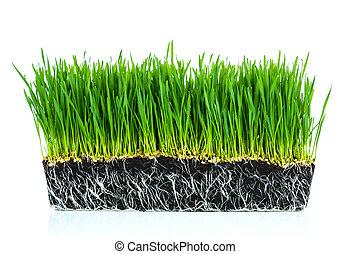 fresco, trigo verde, pasto o césped, con, raíces, aislado,...