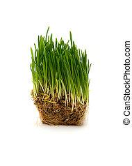 fresco, trigo verde, seedling