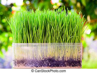 fresco, trigo verde, seedlings