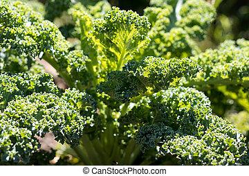 fresco, verde, col rizada, crecer, en el jardín