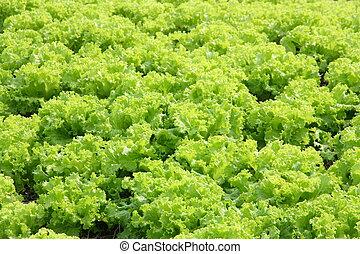 fresco, verde, Lechuga