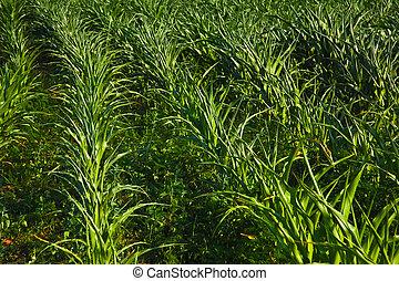 fresco, verde, maíz, plantación, campo