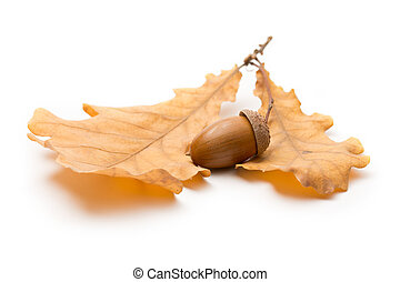 Fresh acorn with dried leaves