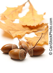 Fresh acorn with leaves