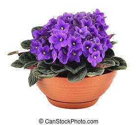 fresh african  violets in pot