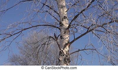 beautiful winter hoarfrost on birch