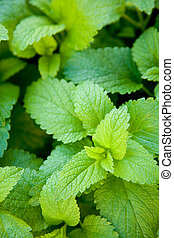 fresh and green mint leafs