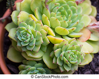 Succulent Close-up / Macro