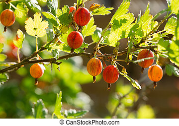Fresh and ripe gooseberries on a branch