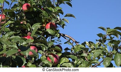 fresh apple fruit branch on blue sky background in garden.