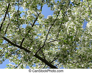 Fresh apple tree branch with flowers