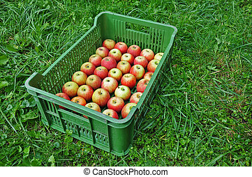 Fresh apples in a crate