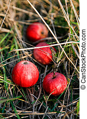 Fresh apples in a grass