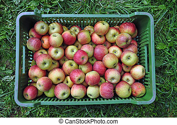 Fresh apples in a shipping crate